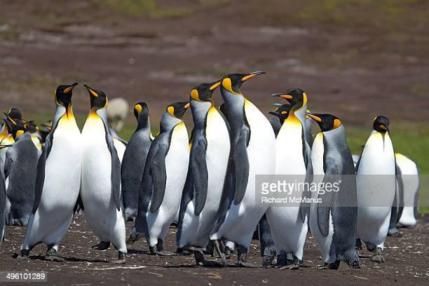 Strutting king penguins.