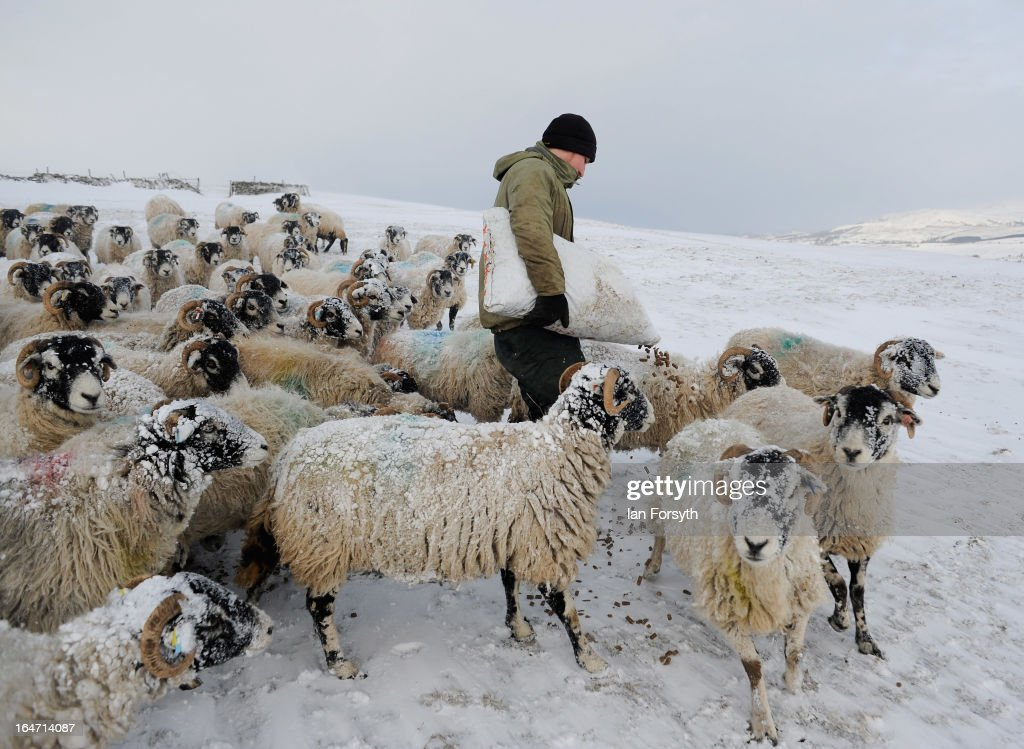Stuart Buckle, 23, feeds his flock of Swaledale sheep on his farm in the hamlet of Barras during heavy snow on March 27, 2013 near Kirkby Stephen, Cumbria, England. Stuart, 23, runs Bleathgill Farm with his father Wilf and as heavy snow continues to fall, extra effort is needed to look after and protect their Swaledale sheep from the cold. Across the UK, farmers are battling to save livestock after heavy snow and freezing temperatures has left thousands of sheep and cattle stuck in the fields with no access to food and fresh water.