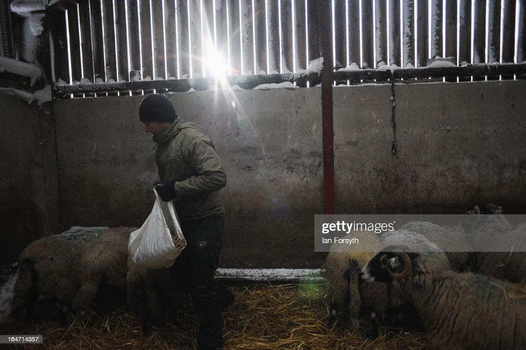 Stuart Buckle, 23, feeds his sheep on his farm in the hamlet of Barras during heavy snow on March 27, 2013 near Kirkby Stephen, Cumbria, England. Stuart, 23, runs Bleathgill Farm with his father Wilf and as heavy snow continues to fall, extra effort is needed to look after and protect their Swaledale sheep from the cold. Across the UK, farmers are battling to save livestock after heavy snow and freezing temperatures has left thousands of sheep and cattle stuck in the fields with no access to food and fresh water.