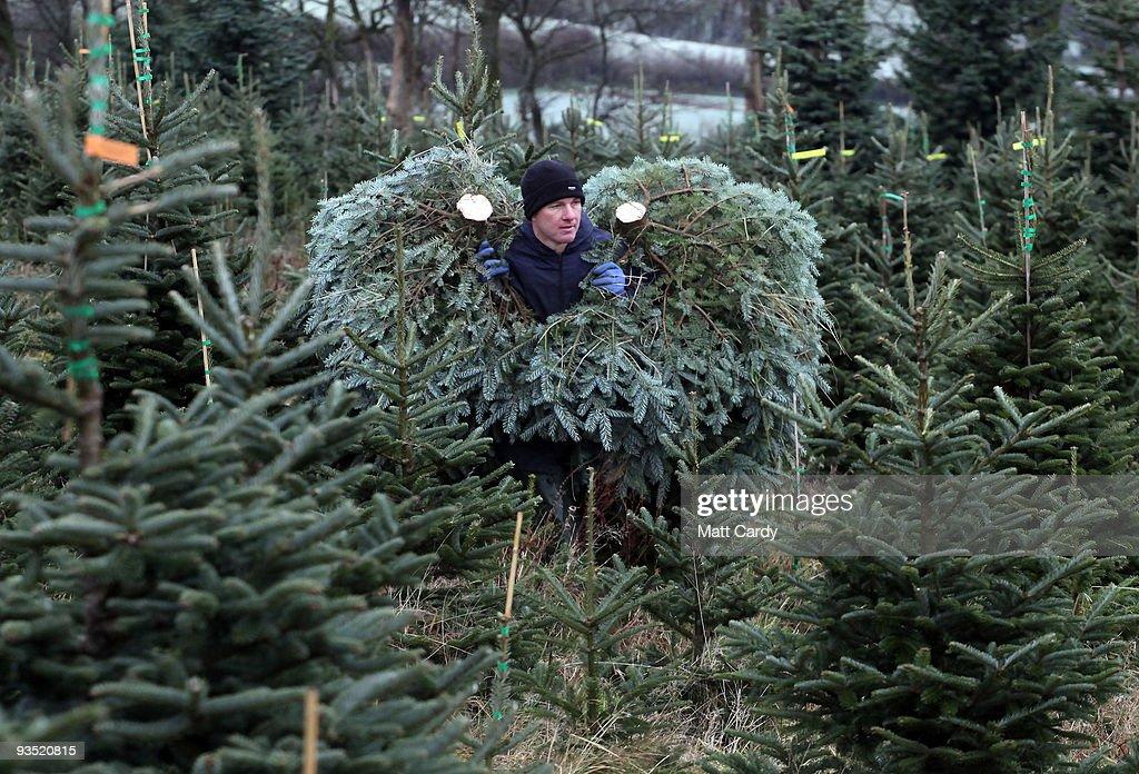 Stuart Kirkup carries freshly cut trees to a van at his Dartmoor Christmas Tree Farm on December 1 2009 near Ashburton England The 23 acre farm in...