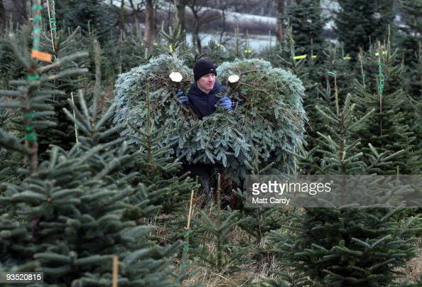 Stuart Kirkup carries freshly cut trees to a van at his Dartmoor Christmas Tree Farm on December 1 2009 near Ashburton England The 23 acre farm in...