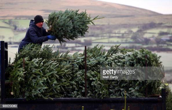 Stuart Kirkup loads trees onto a van at his Dartmoor Christmas Tree Farm on December 1 2009 near Ashburton England The 23 acre farm in the heart of...