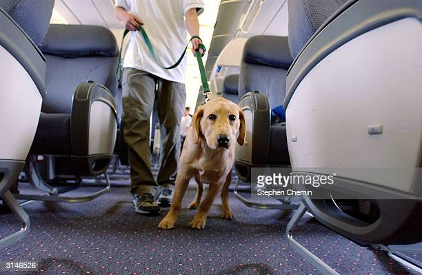 Student guide dog Max a Golden Retreiver puppy pulls his handler down the aisle of a plane during their training program March 27 2004 at New Liberty...