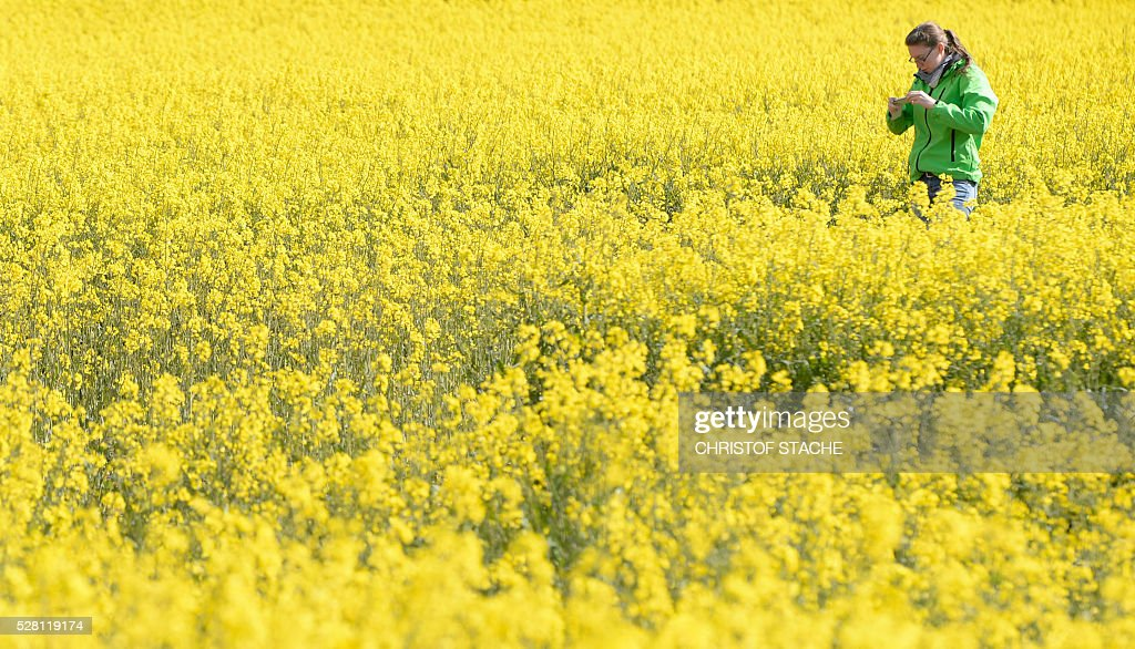 A student takes a picture of a rape plants in a field near the small Bavarian village Olching, southern Germany, on May 4, 2016. Meteorologists forecast sunny spring weather for the upcoming day's. / AFP / CHRISTOF
