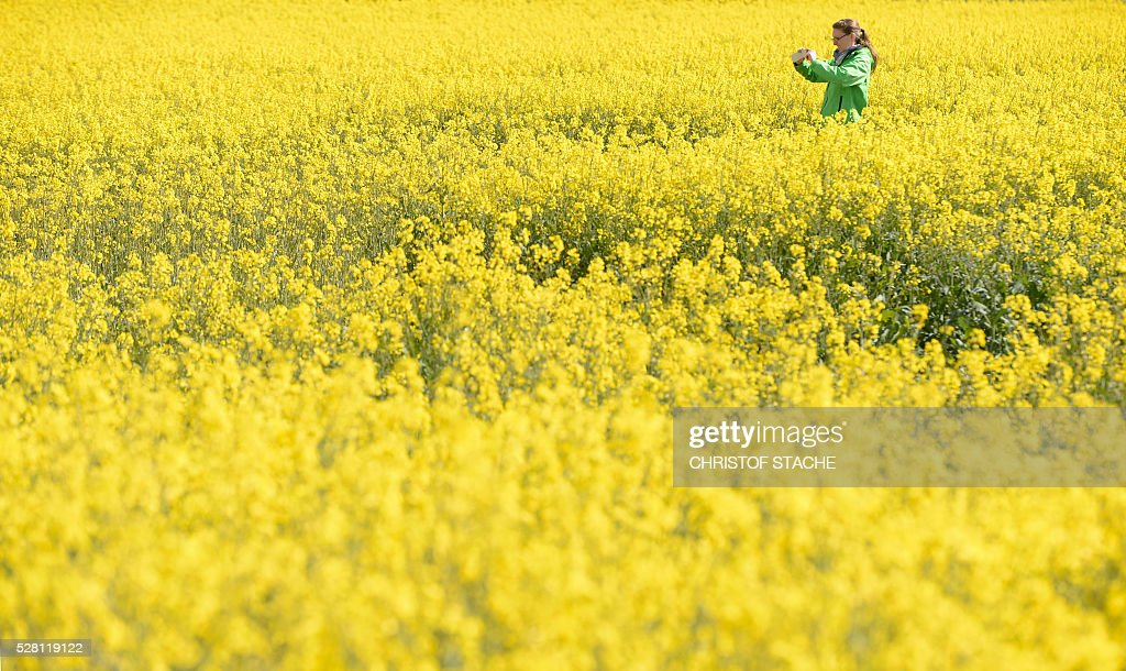 A student takes a picture of a rapeseed field during near the small Bavarian village Olching, southern Germany, on May 4, 2016. Meteorologists forecast sunny spring weather for the upcoming day's. / AFP / CHRISTOF