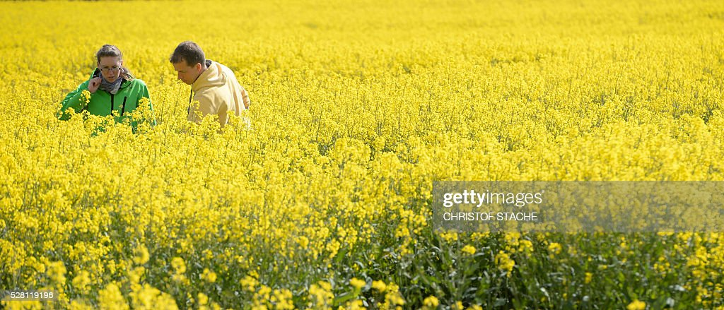 Students a rape plants in a field near the small Bavarian village Olching, southern Germany, on May 4, 2016. Meteorologists forecast sunny spring weather for the upcoming day's. / AFP / CHRISTOF
