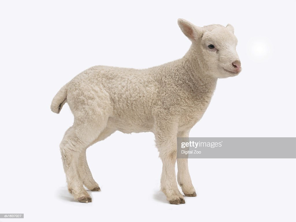 Studio Cut Out of a Standing Lamb : Stock Photo