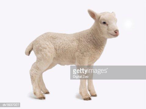 Studio Cut Out of a Standing Lamb : Bildbanksbilder