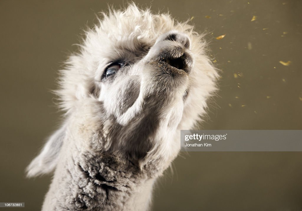 domesticated species of South American camelid.