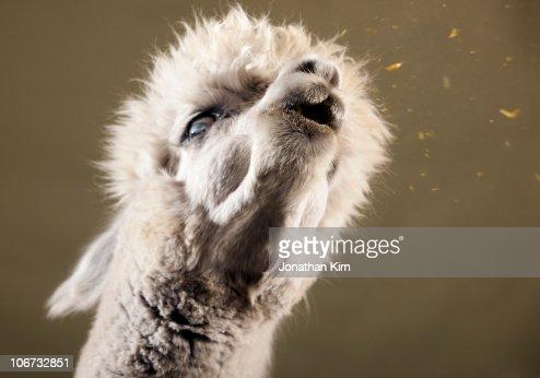 Studio image of Alpaca spitting.