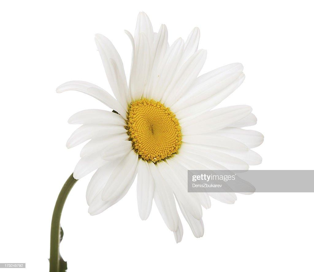 studio isolated daisy