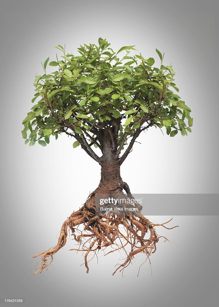 Studio photo of a tree with roots : Stock Photo