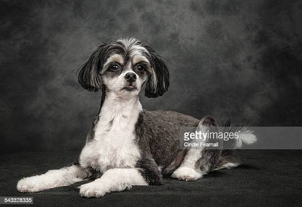 Studio Portrait Black & White Dog on Grey Backdrop