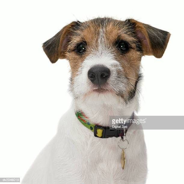 Studio Portrait of a Jack Russell