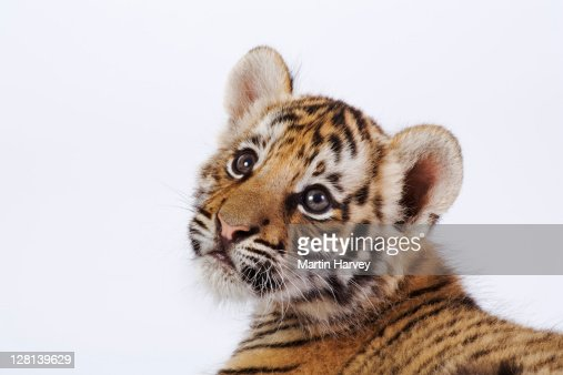 Studio portrait of a two month old Tiger cub, Panthera tigris. Dist. Asia but extinct in much of its range. (PR: Property Released) : Stock Photo