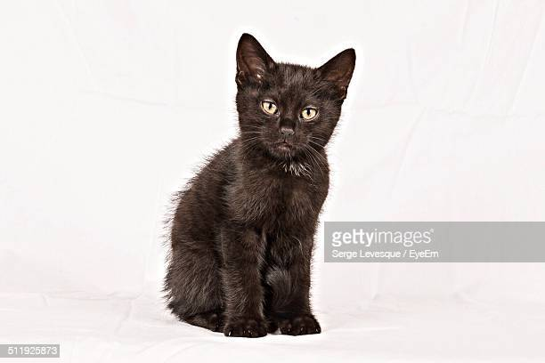 Studio portrait of black kitten