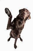 Studio portrait of Chocolate Labrador
