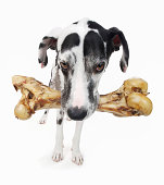 Studio portrait of great dane carrying large bone
