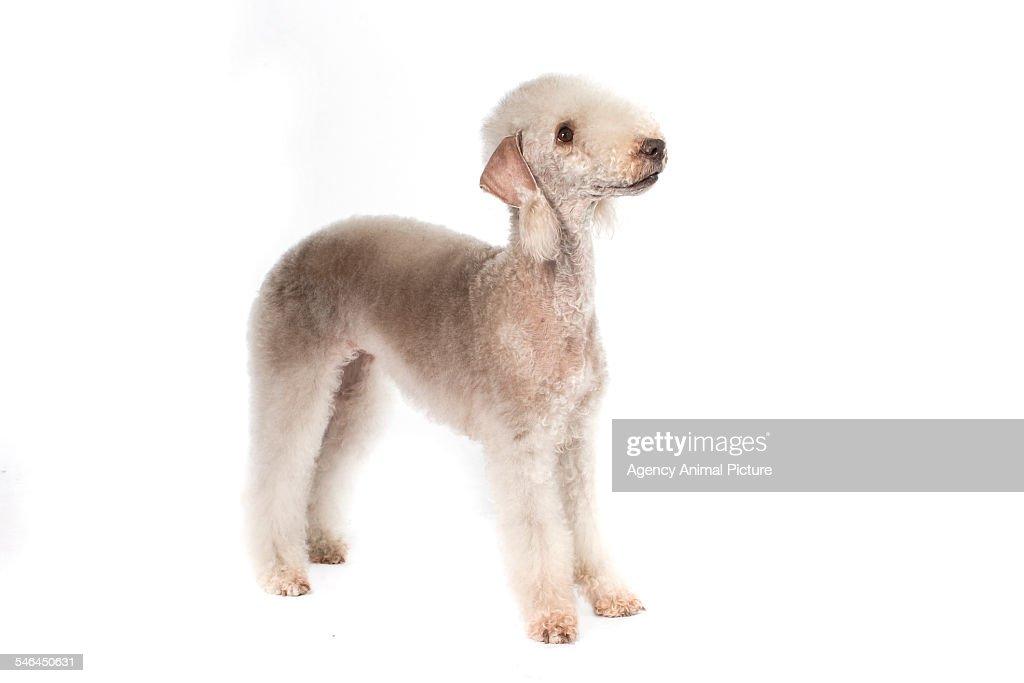 Studio shoot of a Bedlington terrier