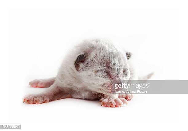 Studio shoot of a one day old Birman cat