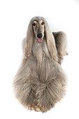 Studio shoot of an Afghan hound
