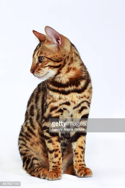 Studio shoot of Bengal cats, white background