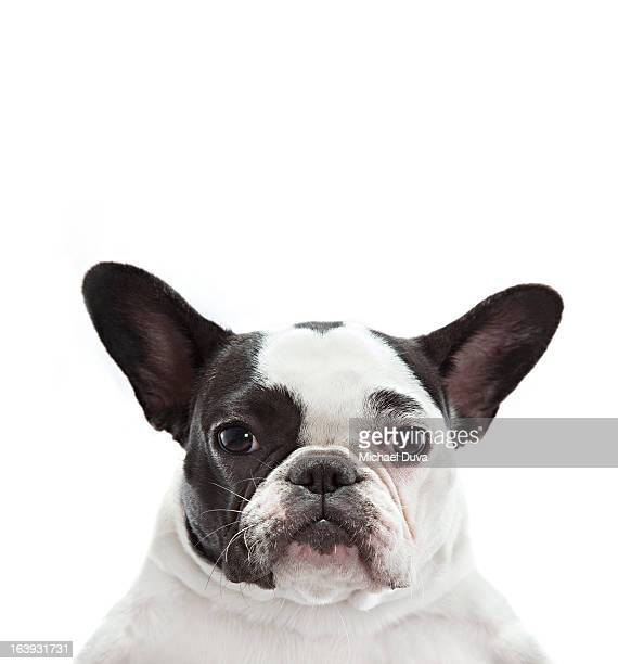 studio shot french bulldog on a white background,