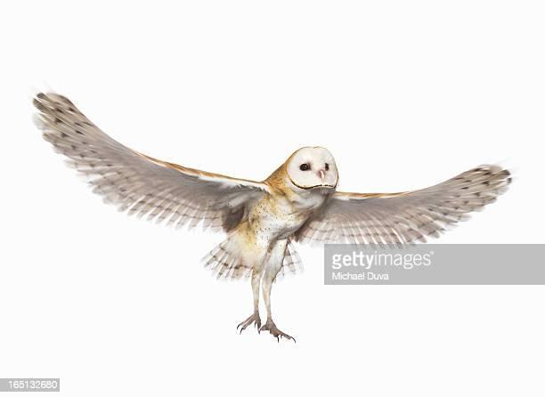 studio shot of a barn owl flying white background