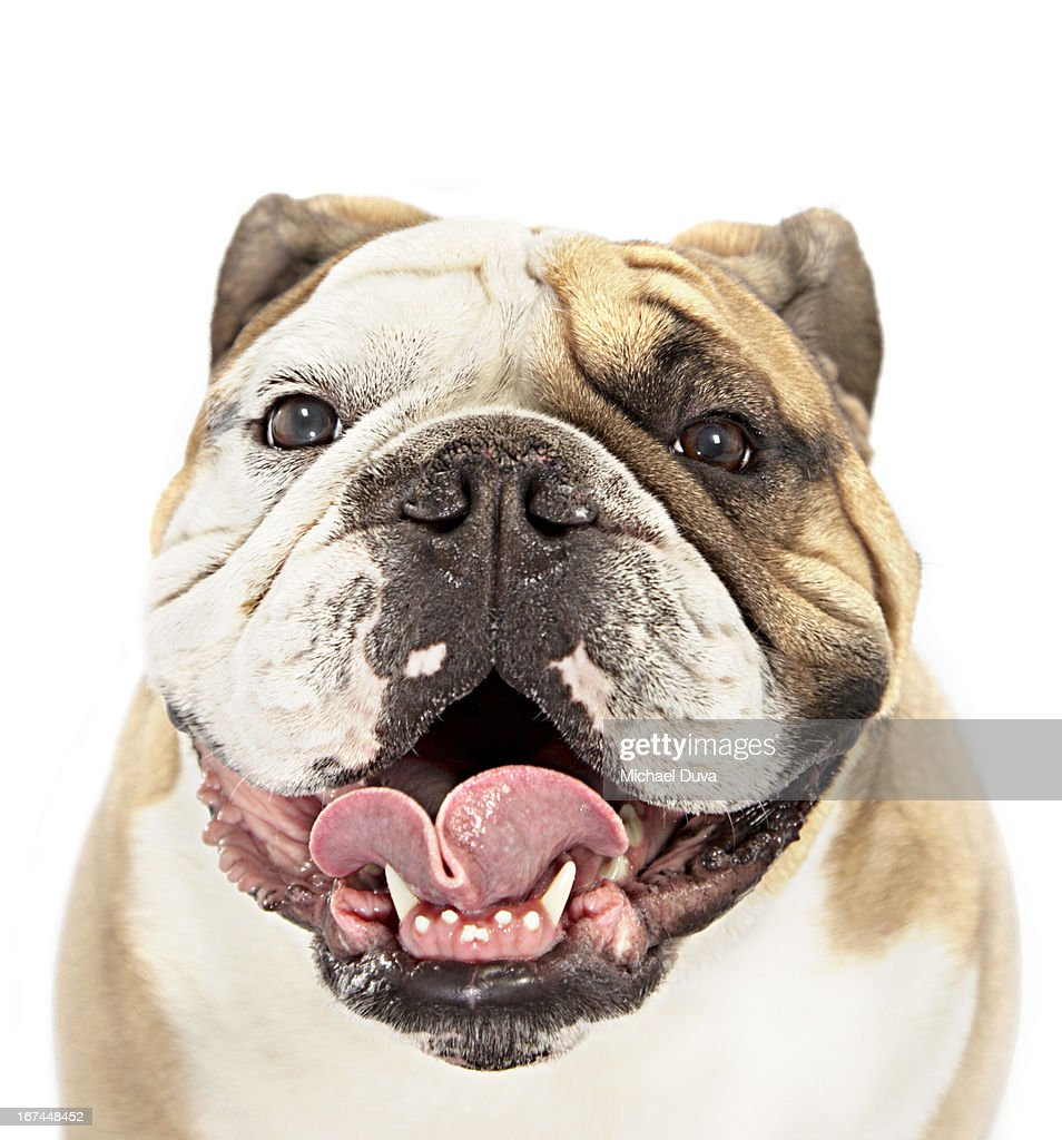 studio shot of a bulldog panting