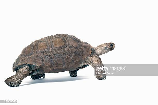 studio shot of a Burmese Brown Mountain Turtle