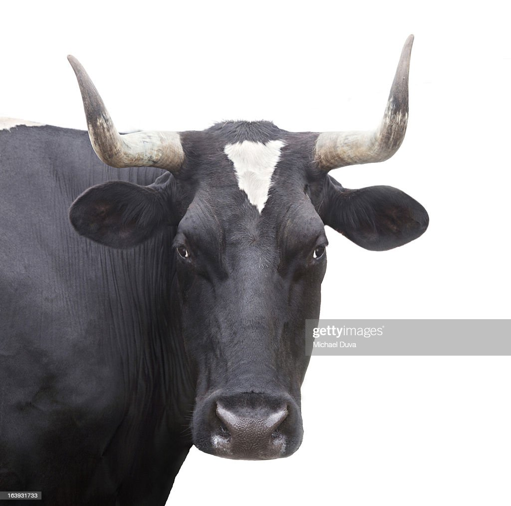 studio shot of a cow on a white background,