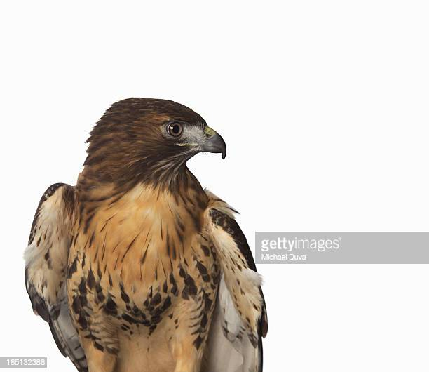 studio shot of a hawk on a white background