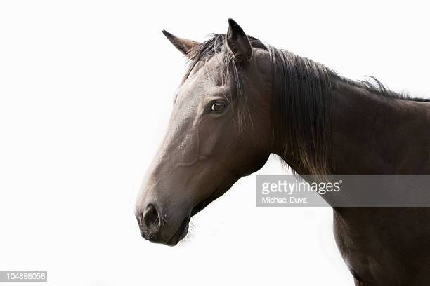 studio shot of a horse on a white background