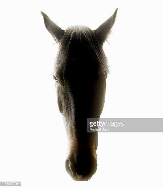 Studio shot of a horse on white background.