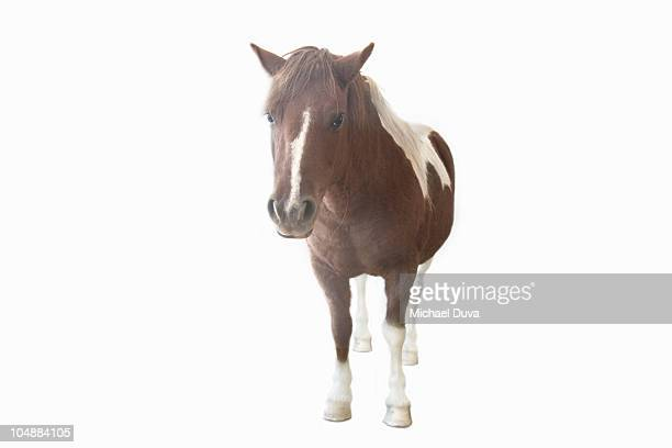 studio shot of a pony on a white background