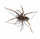 Studio Shot of a Spider on a White Background