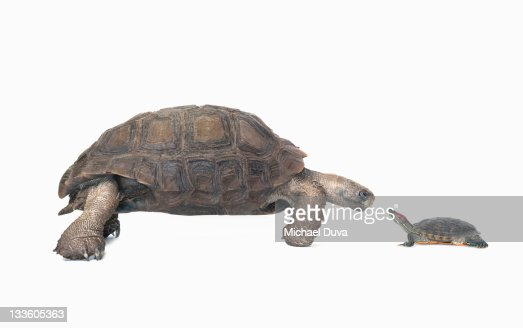 studio shot of a tortoise and turtle : Stock Photo