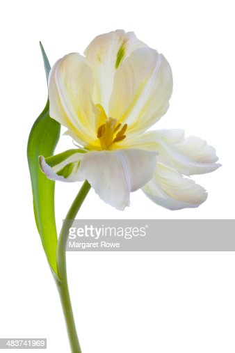 Studio shot of a White Tulip on a white background