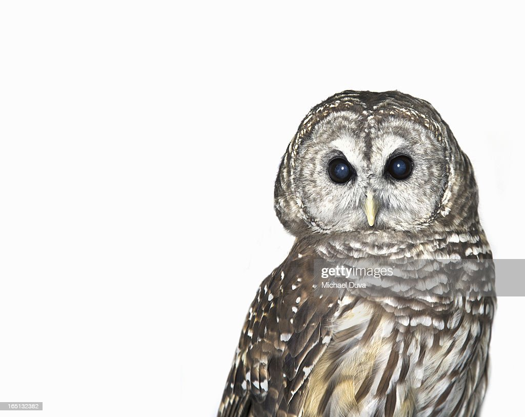 studio shot of an owl on a white background
