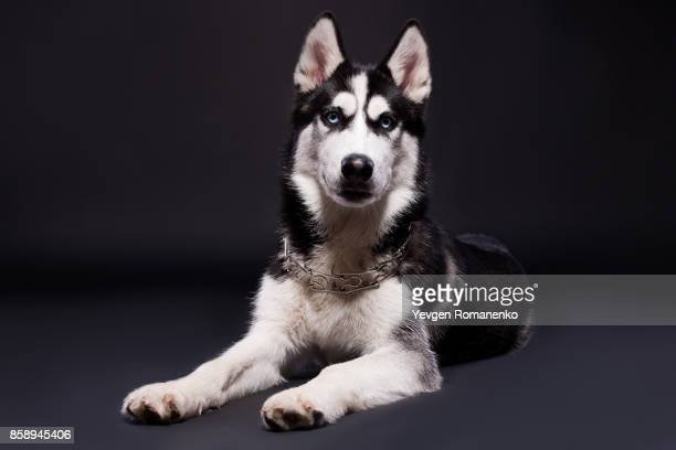 Studio shot of beautiful Siberian husky dog on dark background