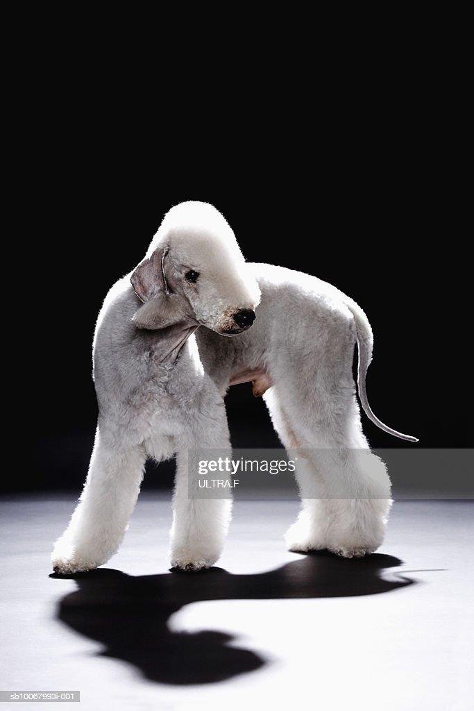 Studio shot of Bedlington Terrier
