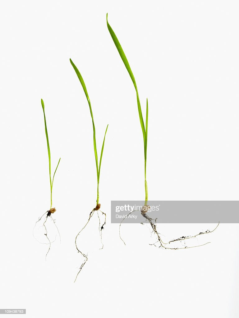 Studio shot of blades of grass with bulbs and roots