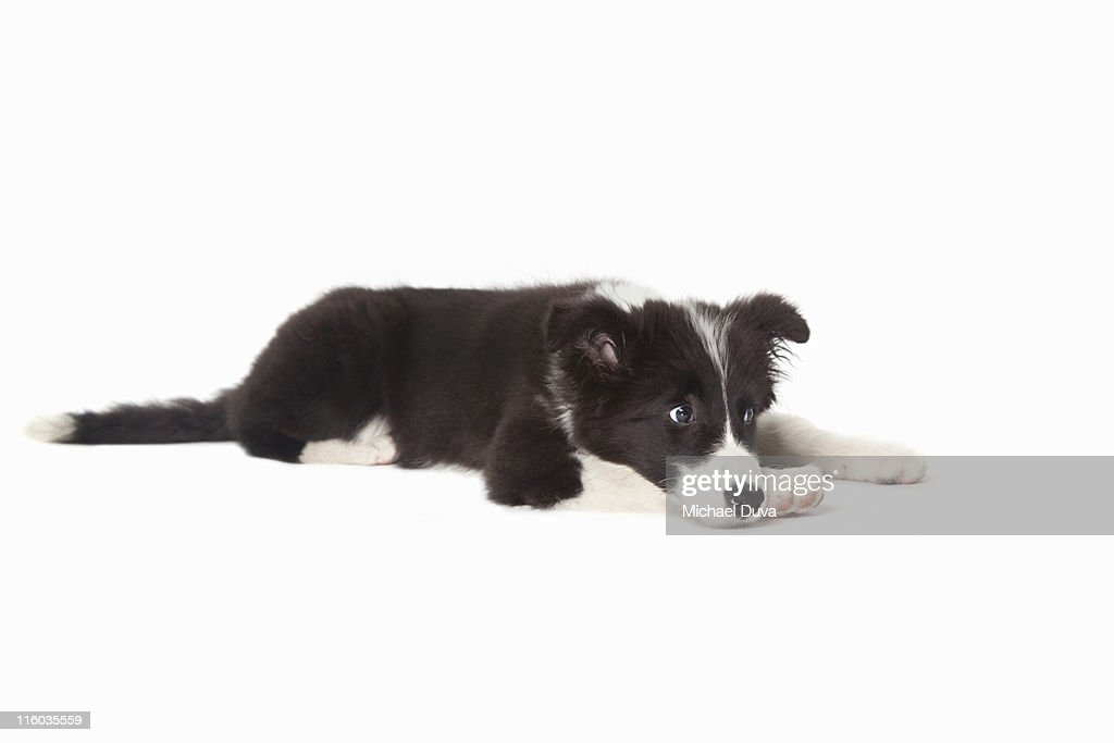 studio shot of Border Collie on white background : Stock Photo