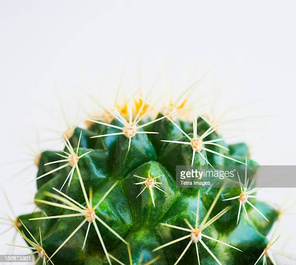 Studio shot of cactus