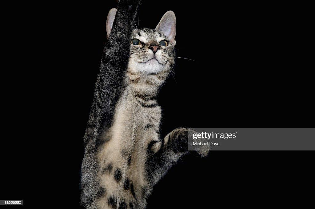 studio shot of cat on black background : Stock Photo