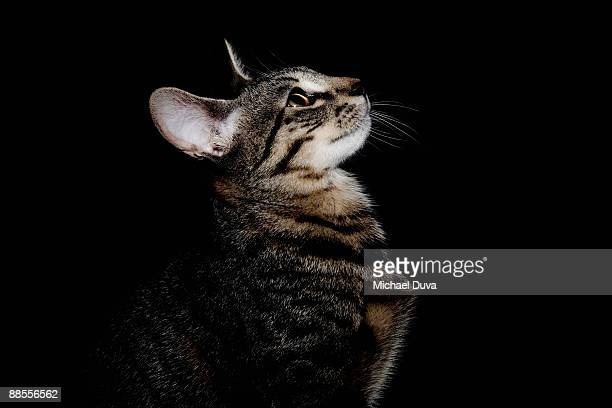 studio shot of cat on black background