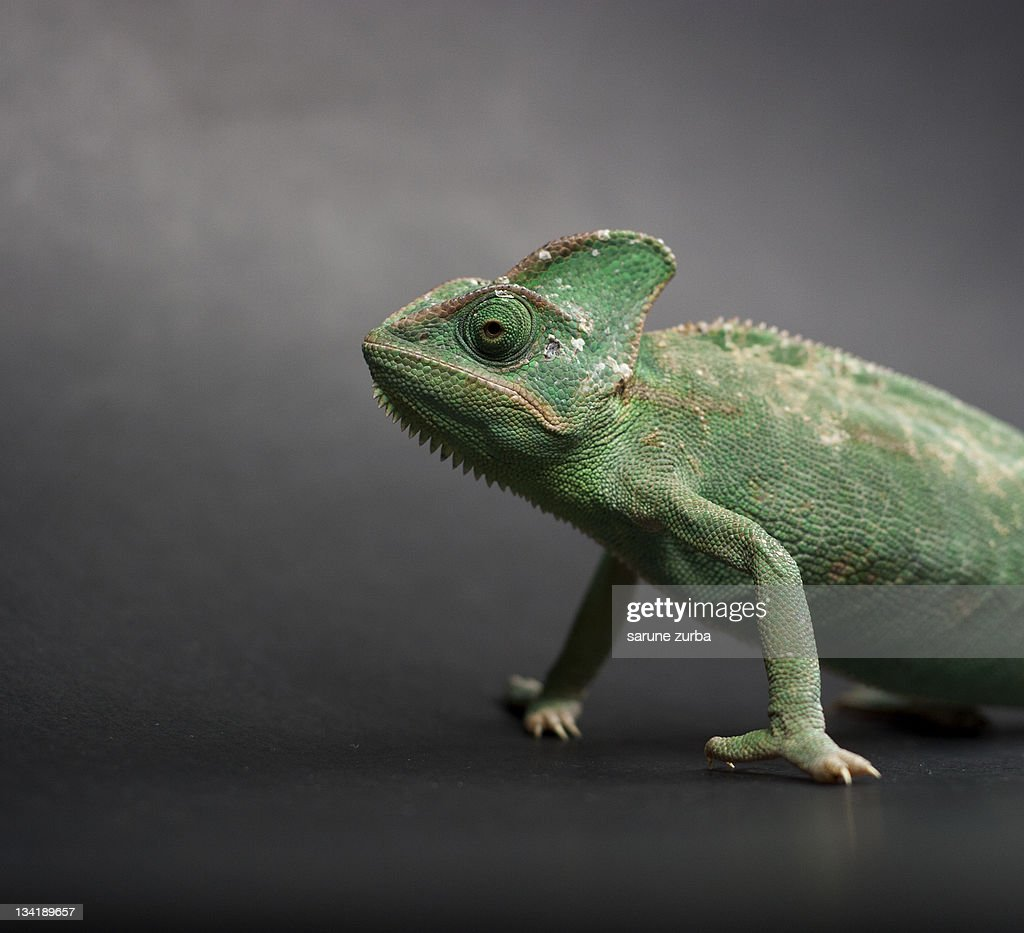 Studio shot of chameleon : Stock Photo
