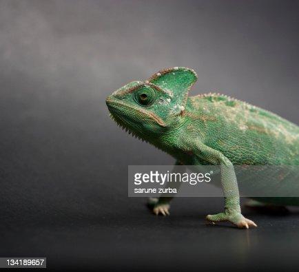 Studio shot of chameleon : Stock Photo