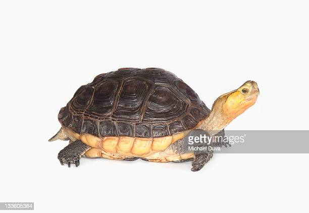studio shot of chinese box turtle white background