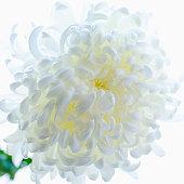 Studio shot of Chrysanthemum